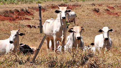 Aumento dos abates ajudou a melhorar o preço da arroba - Foto: Valdenir Rezende/Correo do Estado