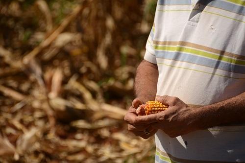 Preço e vendas antecipadas amenizam prejuízos na colheita no MS
