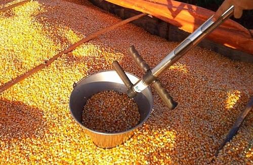 Três cidades da região norte de MS finalizam a colheita de milho