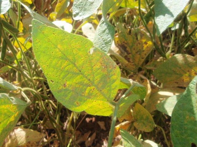 Rotação de fungicidas podem evitar a doença - Foto: Divulgação/Embrapa